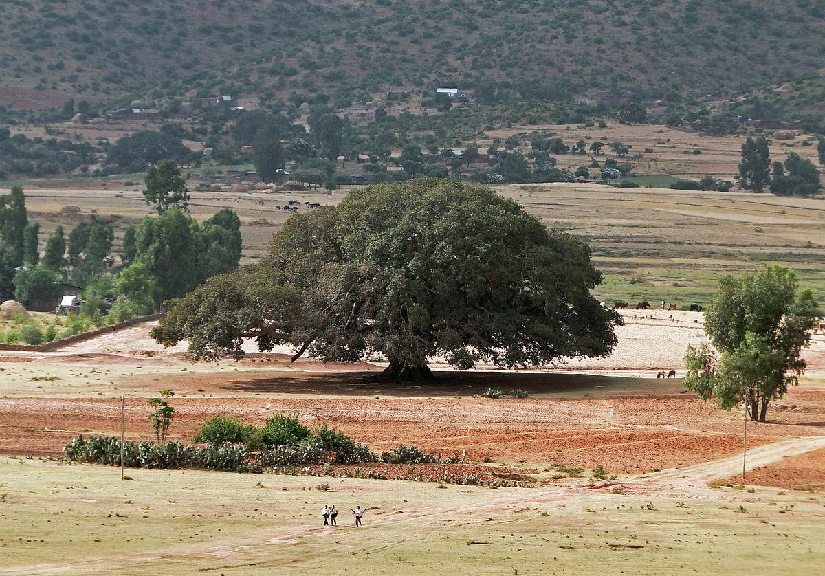 1200px-Sycomore_in_Ethiopia
